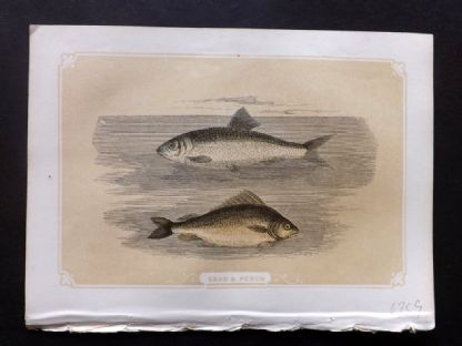 Bicknell 1851 Antique Print. Shad & Perch Fish